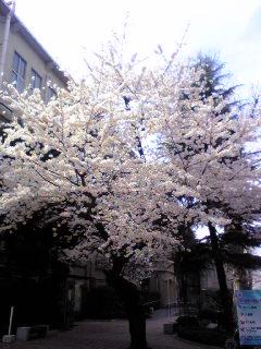 桜がほぼ満開