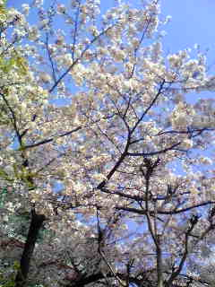 まだ満開の桜