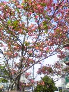 花水木の街路樹
